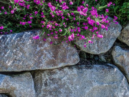 Fuschia flower bloom on top of a rock wall.