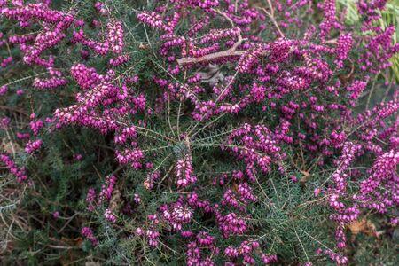 Fuschia colored flowers closeup. Stock Photo