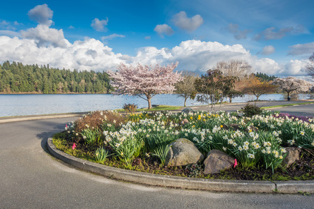 shorelines: Cherry blossoms are in bloom along Lake Washington in Spring.