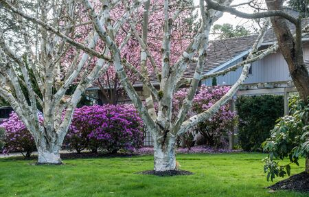 pacific northwest: Two white trees grow in fron of purple, and pink Spring flowers in the Pacific Northwest.