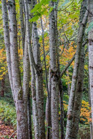 Closeup shot of Birch Trees. Stock Photo