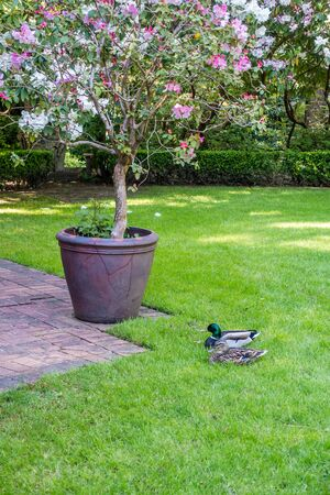 Two ducks site near a planted flower bush. Stock Photo