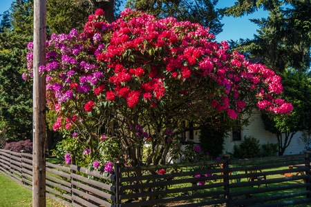 The state flower of Washington grows big in Burien, Washington.