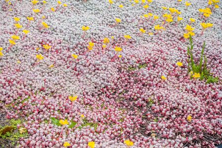 groundcover: White and pink groundcover with yellow flowers. Background or texture.