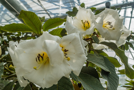 Photo of large white flowers with a touch of yellow. Location - Rhododendron Species Botanical Garden. Stock Photo