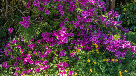 Pink Azalea flower plant.