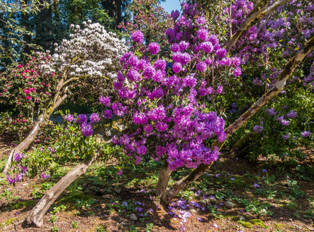 pacific northwest: Brilliant purple and white Rhododendron blossoms are on display in the Pacific Northwest.