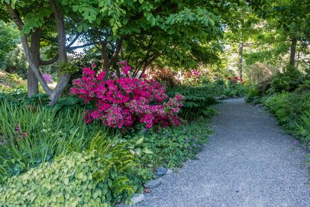 Red Azaleas brighten up the scenery near a walking path in Seatac, Washington. Stock Photo