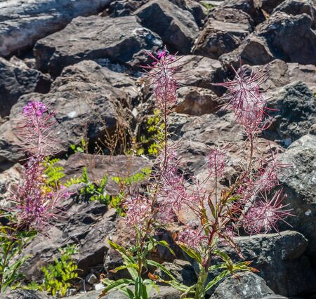 puget: Delicate red flowers grow between rock near the Puget Sound.