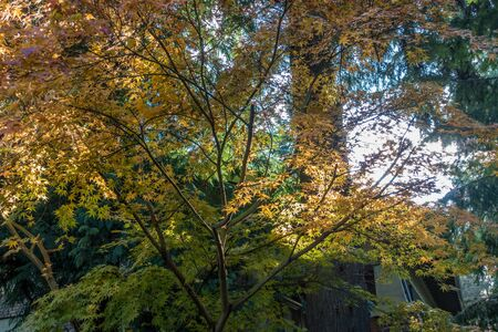 pacific northwest: The leaves have turned on this Japanese Maple in a backyard somewhere in the Pacific Northwest.