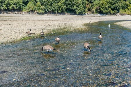 A group of Canada Gesse hang out by a stream in Normandy Park, Washington.