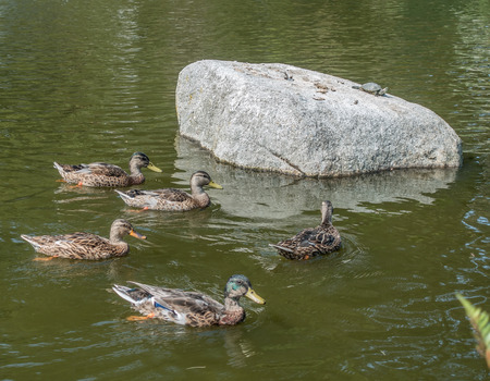 defiance: Duck paddle near a rock at Point Defiance Park in Tacoma, Washington.