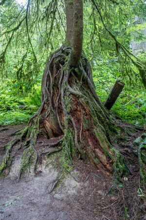 pacific northwest: Root are uncovered in a tree is the Pacific Northwest.