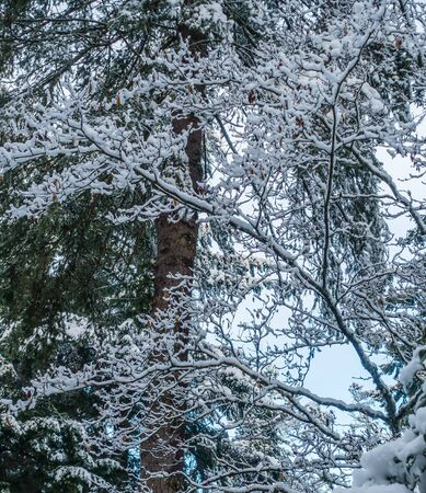 pacific northwest: Fresh snow clings to tree branches somewhere in the Pacific Northwest.