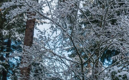 Fresh snow clings to tree branches somewhere in the Pacific Northwest.