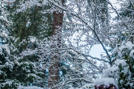 Fresh snow clings to tree branches somewhere in the Pacific Northwest. Stock fotó - 68663939