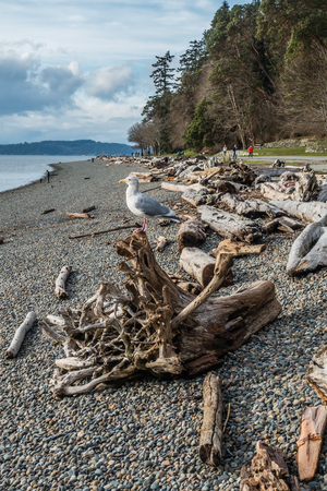 A seagull sits on a driftwood log on shore at Lincoln Park in West Seattle, Washington.
