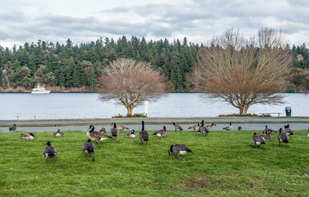 northwest: A group of Canada Geese feed near Lake Washington in Seattle.