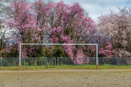 A netless goal post stands in front of abundant Cherry blossoms in Burien, Washington. HDR image. Banco de Imagens