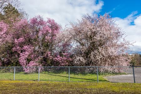 Cherry trees bloom in Spring in Seatac, Washingoton.