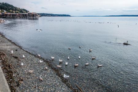northwest: A group of birds swims near shore in West Seattle, Washington.