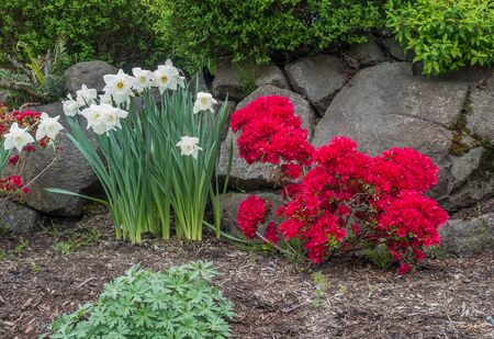 A veiw of white Daffodils and red Azaleas in front of a rock wall.