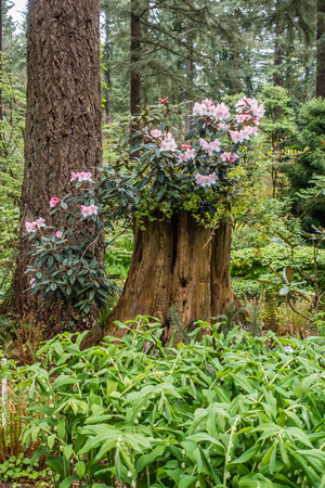 Rhododendron flowers grow out of a tree trunck in Tacoma, Washington.