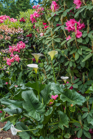 A closeup shot of pink Rhododendrons and white Calla Lillies.