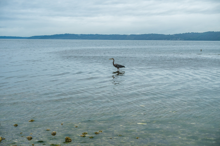 wading: A Blue Heron wades near the shore at Saltwater State Park.