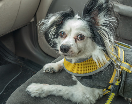 A black and white Papillon dog sits on the front seat of a car.