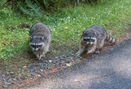 tacoma: A view of two raccoons on the side of the road at Point Defiance Park in Tacoma, Washington.