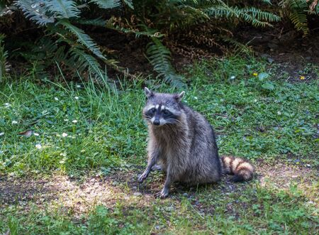 A view of araccoon on the side of the road at Point Defiance Park in Tacoma, Washington. Stock Photo