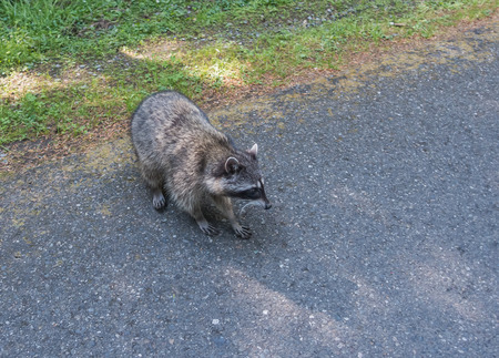 raccoons: A view of a raccoon on the side of the road at Point Defiance Park in Tacoma, Washington.