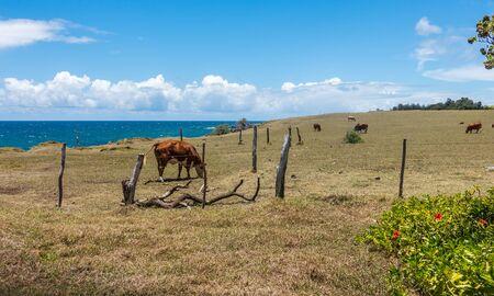 ハワイ マウイ島の牛の群れ。