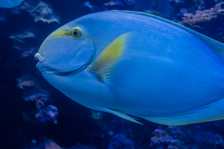 Closeup shot of blue fish in an aquarium.