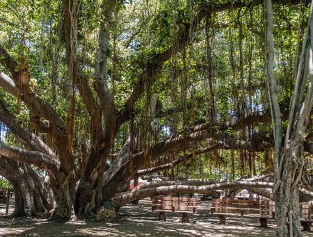 マウイ島、ハワイのラハイナの巨大なガジュマルの木のセクションのビュー。 写真素材