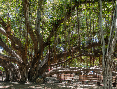 A view of a section of a huge Banyan tree in Lahaina on Maui, Hawaii.