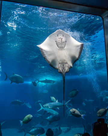 A closeup shot of a manta ray in an aquarium. Banco de Imagens - 84186518