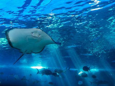 A closeup shot of a manta ray in an aquarium. Stock Photo