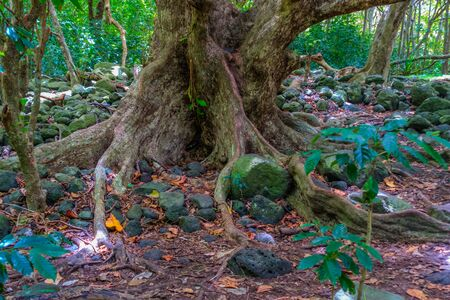 A view of a tree trunk  in the Iao Valley in Maui, Hawaii. Stock Photo