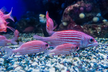 Closeup shot of red and white fish in an aquarium.