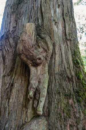 A closeup shot of a knotty tree in the Pacific Northwest. Banco de Imagens