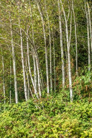 A view of Alder trees in the Pacific Northwest. Stock Photo - 87009891