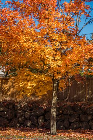 A tree in Burien, Washington radiates golded Autumn colors.