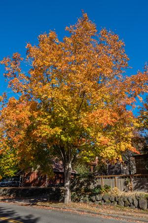 A tree in Burien, Washington radiates golden Autumn colors. Banco de Imagens