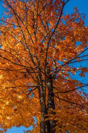 A tree in Burien, Washington radiates golden Autumn colors. Background shot.