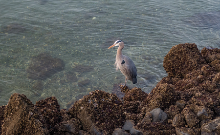 A Great Blue Heron stands on barnacle encrusted rocks in Des Moines, Washington.