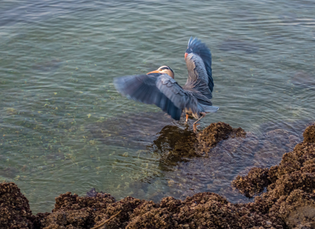 A Great Blue Heron flaps its wings on barnacle encrusted rocks in Des Moines, Washington.