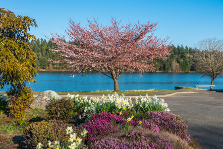 A view of a blooming Cherry tree and garden on the shore of Lake Washington. Фото со стока
