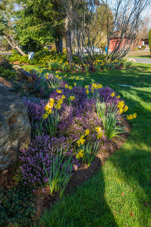 A garden with purple Heather and yellow Daffodils.